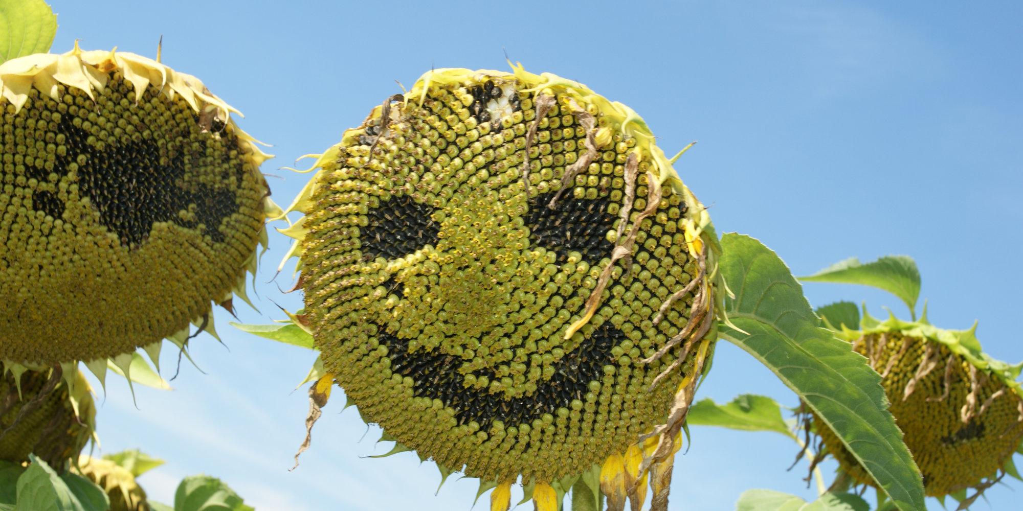 Slider Sonnenblume